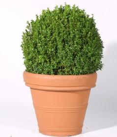 Buxkugel Grünpflanzen Dekorationspflanzendeko Mieten