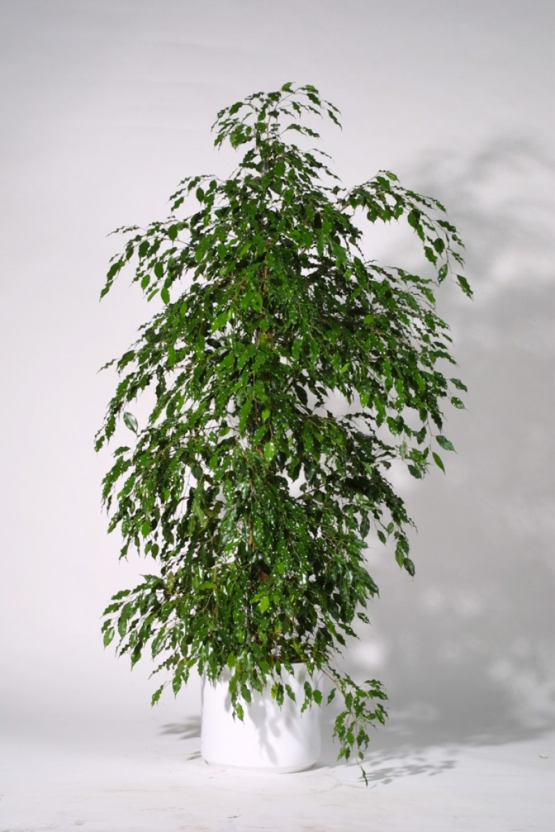 Ficus gr npflanzen dekorationspflanzen deko mieten for Deko grunpflanzen